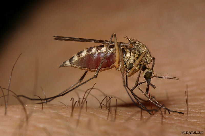 "culex-Pipiens CDC: West Nile ""Worst U.S. Has Ever Seen"