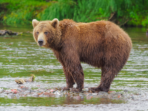 brown-bear-wikimedia