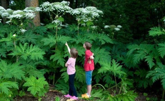 Invasive Plant In Virginia: Can Cause PERMANENT BLINDNESS And 3rd Degree Burns