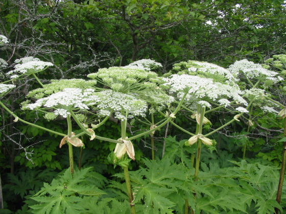 Dangerous burn causing giant hogweed plant removed from seattle yard a dangerous plant and noxious weed known as the giant hogweed has been found and removed from a seattle washington yard the giant hogweed is known for mightylinksfo