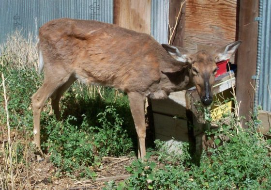 """Can """"Zombie Deer"""" Disease Kill Humans? Research Suggests It ALREADY HAS"""