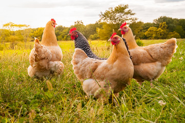 Food Supply Alert: Rooster Tests POSITIVE For Deadly Contagious Disease In Northern California